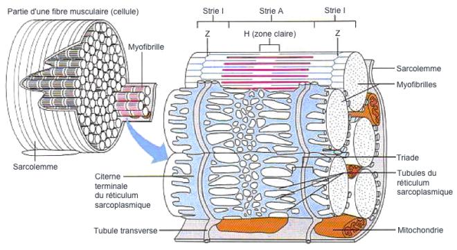 Partie d'une fibre (cellule) musculaire - solayman - Faculté de Medecine et de Pharmacie de Marrakech
