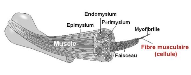 Le muscle squelettique, Anatomie macroscopique et microscopique - UNIVERSITÉ LAVAL