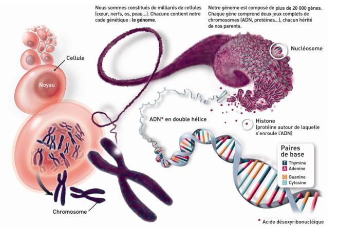 Le génome humain - LEEM - Les entreprises du médicament - fr.pinterest.com