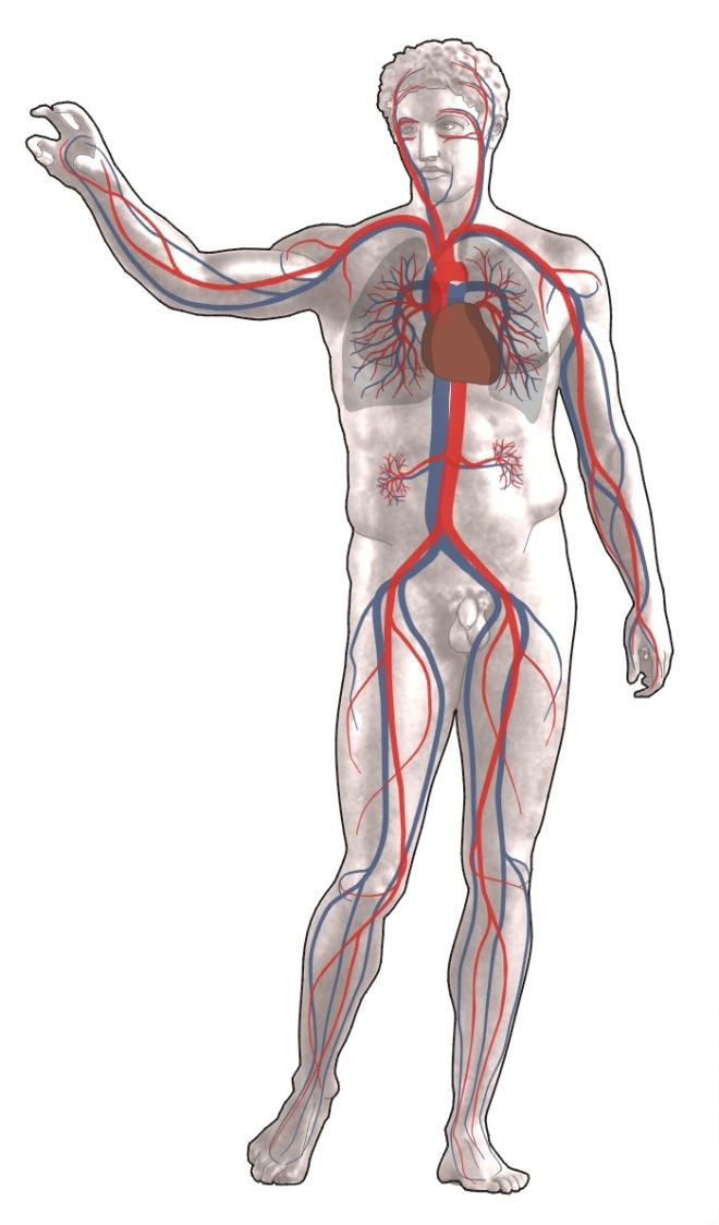 Répartition des principaux vaisseaux de l'appareil cardiovasculaire de l'Homme - Sansculotte - Wikipédia