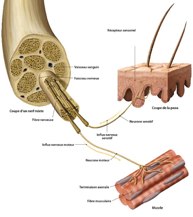 Le fonctionnement du système nerveux - ikonet.com