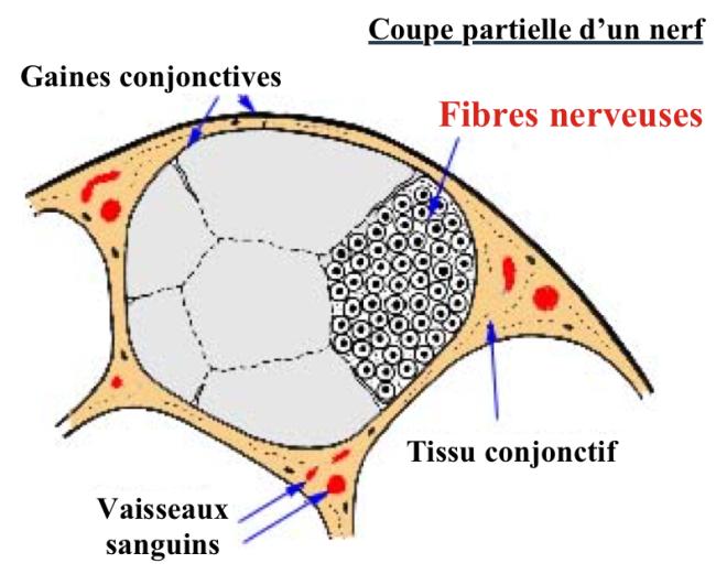 Coupe partielle d'un nerf - Anatomie du tissu nerveux - Anatomie du tissu nerveux - medecine-et-sante.com
