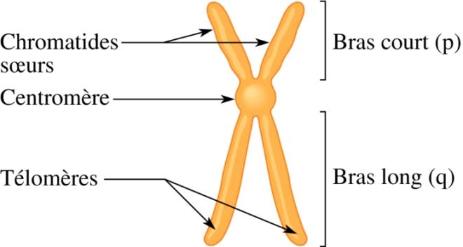 Chromosomes et caryotypes - asp