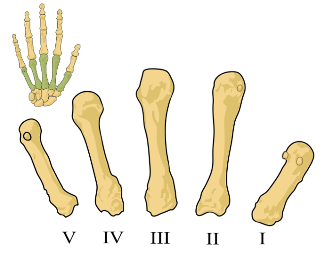 The metacarpus (of the right hand) is the intermediate part of the hand skeleton that is located between the fingers distally and the carpus which forms the connection to the forearm - Mariana Ruiz Villarreal LadyofHats - Wikimedia Commons