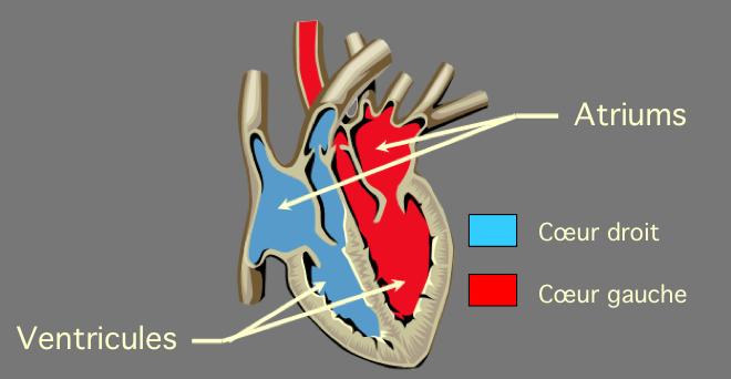 Les cavités cardiaques - Anatomie du cœur - formationambulancier.fr