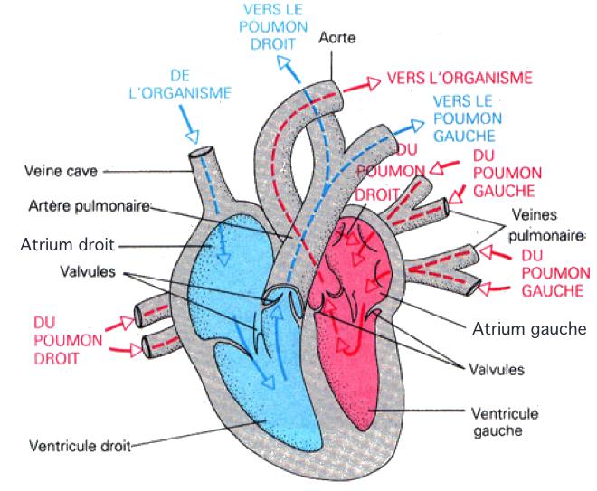 Anatomie du coeur (Karen Arms 1988) - www.alessandroconti.ch