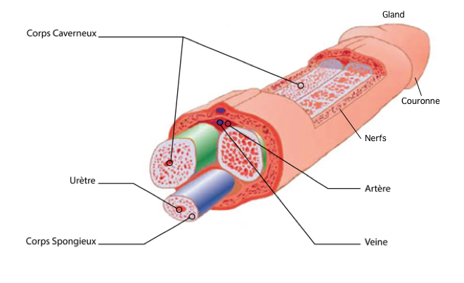 Pénis anatomie - Google Images
