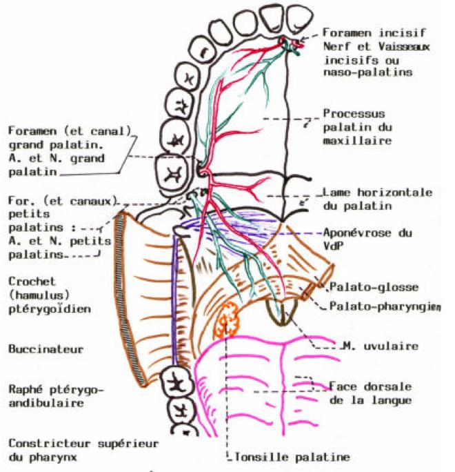 Vaisseaux et nerfs sensitifs du palais en vue inférieure - yabi-faculte-universelle.e-monsite.com