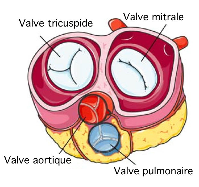 Valves cardiaques - Ecosia