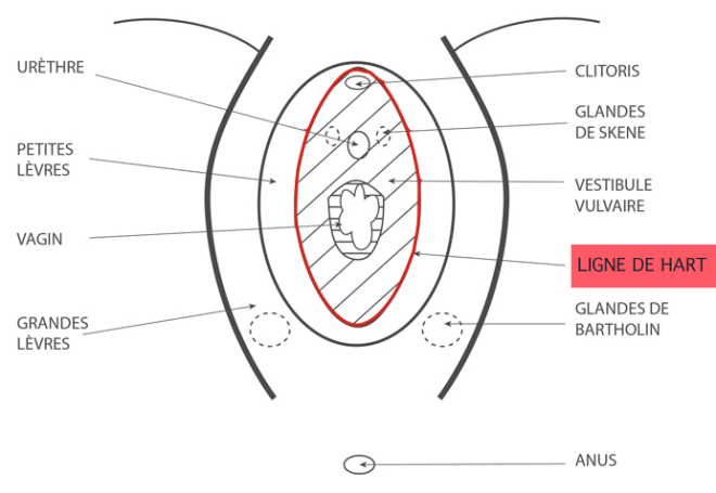 Ligne de Hart - Vestibule vulvaire - Google Images