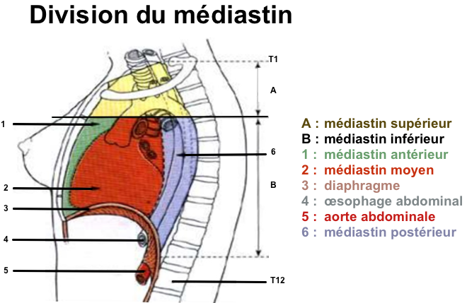(via pixelmator) ANATOMIE DU MEDIASTIN - Pr R. MAROUF, Faculté de médecine et de pharmacie d'Oujda - SlideShare