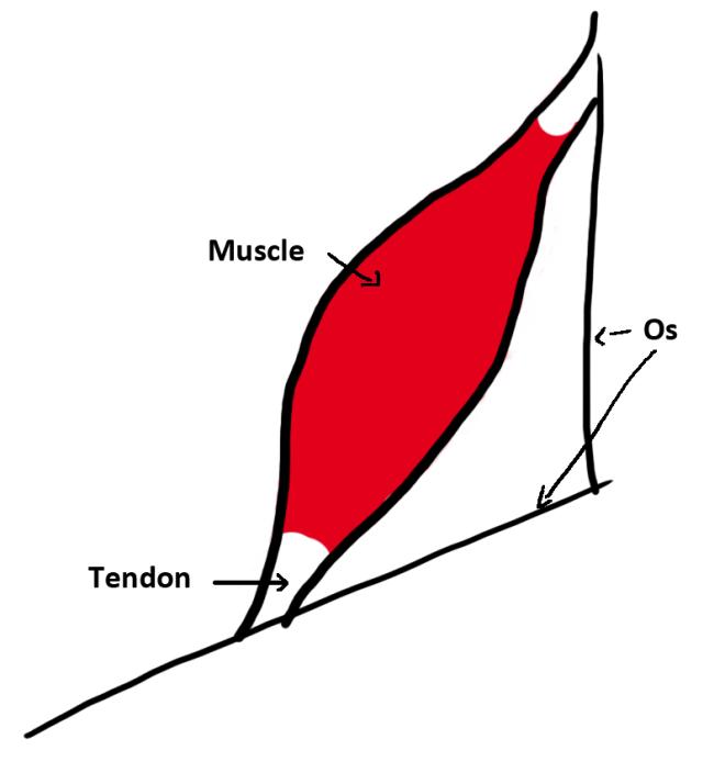 LE TENDON - LA TENDINITE - Konrad Florkow - Ostéopathe