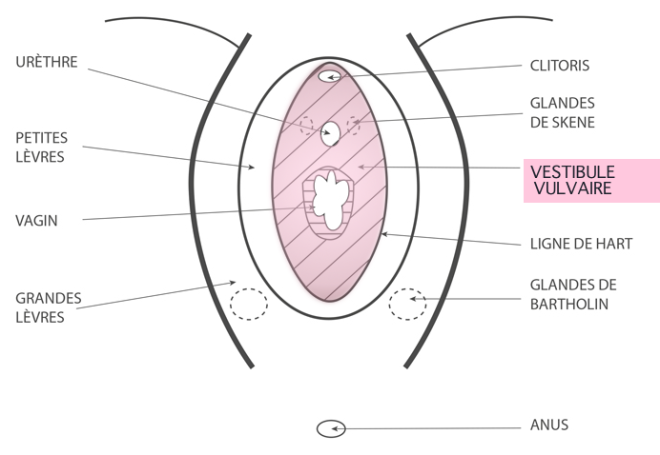 Vestibule vulvaire - Google Images