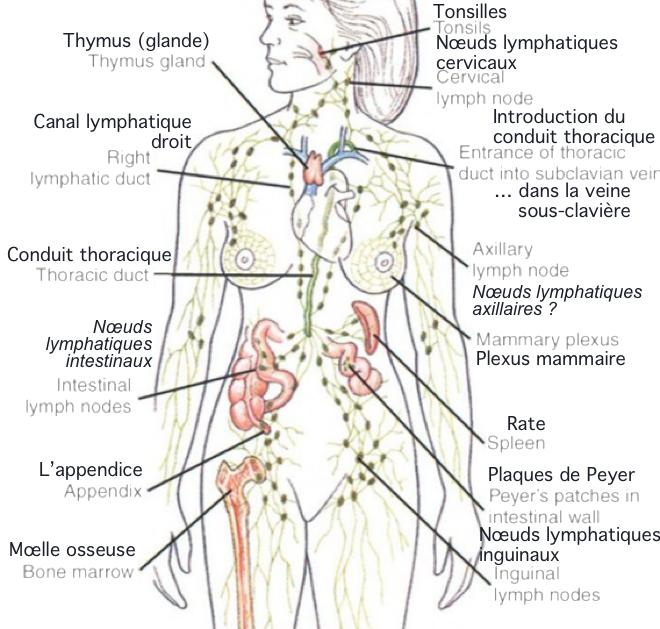 Anatomie et physiologie du système lymphoïde - Le système lymphatique (MARIEB ch.20) - Médecine Intégrée
