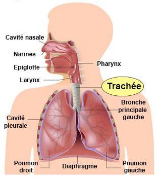 Système respiratoire - Maladies de la trachée - docteurclic
