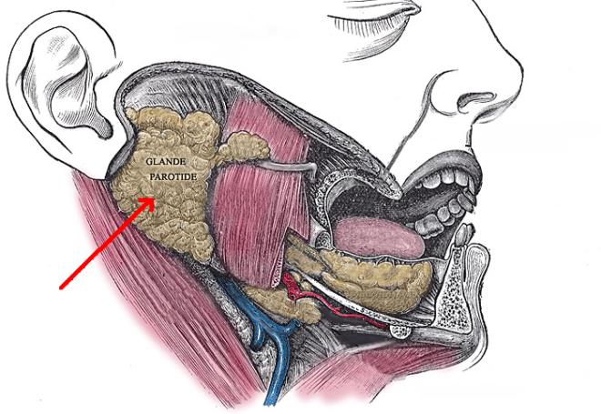 La glande parotide (flèche rouge) sur une vue latérale droite - Wikimedia Commons