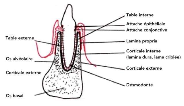 """Résultat de recherche d'images pour """"alvéole dentaire"""""""