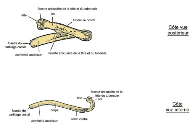 Anatomie générale du corps humain : squelette et muscles - EM
