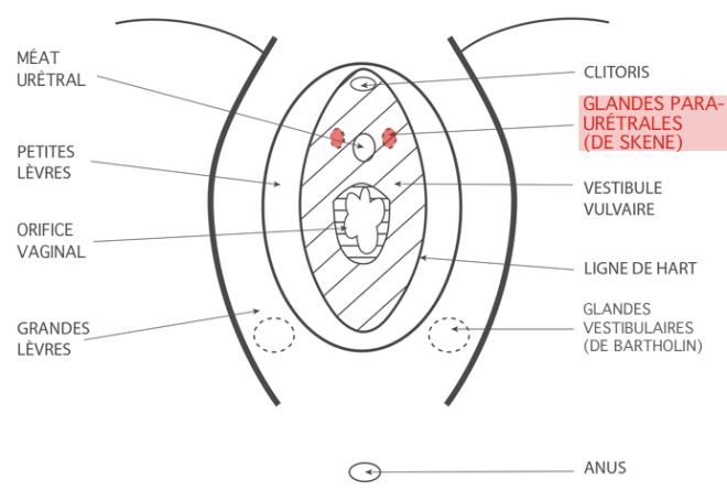 (via Pixelmator) Les glandes para-urétrales - Google Images