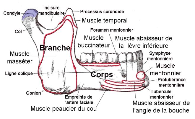 Mandibule (vue latérale droite) - Wikimedia Commons