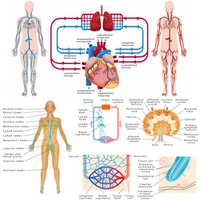 (via Pixelmator) les circulations dans le corps humain - Google Images