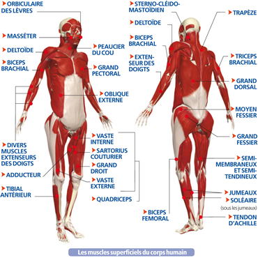 Les muscles superficiels du corps humain - Les muscles squelettiques – 600 muscles squelettiques - LeCorpsHumain.fr