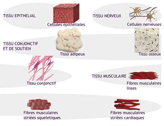Les différents tissus - LES DIFFERENTES FORMES DE TISSUS - Cours ifsi - Biologie fondamentale - les tissus - infirmiers.com
