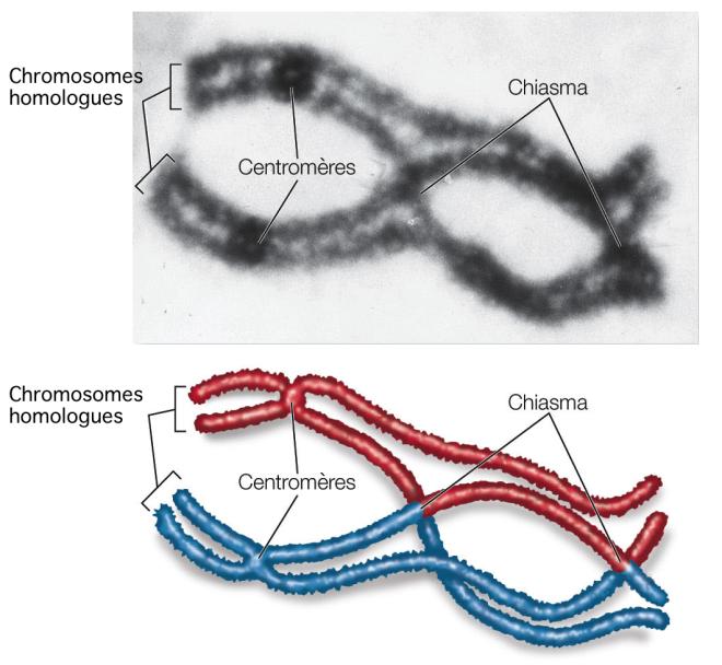 Chiasma lors d'un crossing-over - Méiose et brassage génétique - Biologie 101