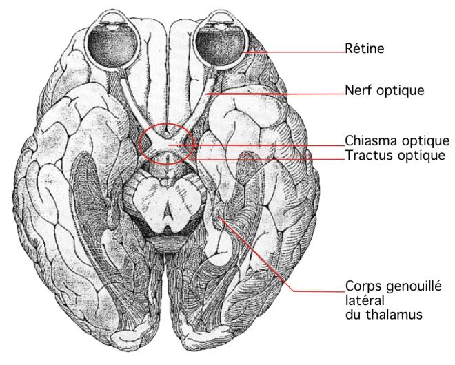 """Image d'encéphale humain, vue ventrale, hémisphères cérébraux """"écartés"""" - Anatomie de l'encéphale dans la région des nerfs optiques - De l'œil au cerveau : organisation des voies visuelles (Eduanatomist) - Sciences de la Vie et de la Terre - Site SVT - Académie de Versaille"""