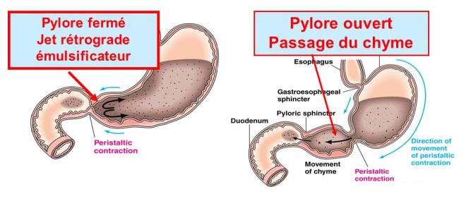 Motricité de l'estomac: Pylore fermé ou ouvert - SlidePlayer