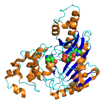 Structure cristallisée de la créatine kinase cérébrale humaine - A2-33 - Wikimedia Commons
