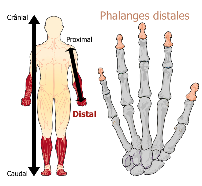 distal - Google Images