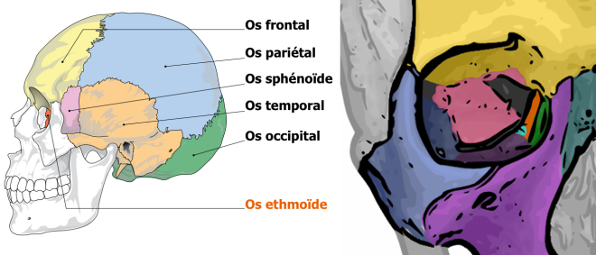 Ethmoid bone - Wikimedia Commons