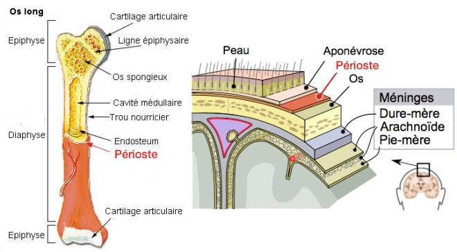 Périostes - Os long et Peau - Wikimedia Commons