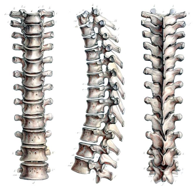 Description anatomique des vertèbres thoraciques (dorsales) - iMedecin.com