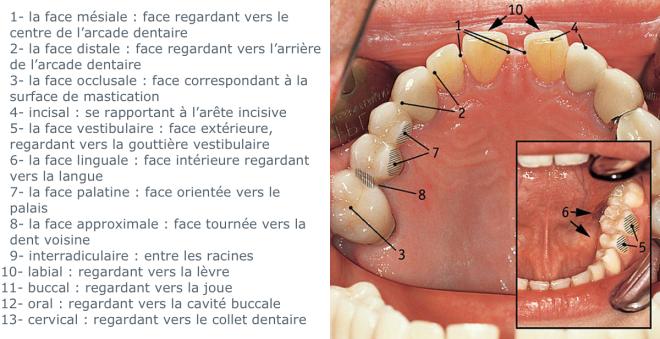 Les différentes faces de la dent - MEDECO - medeco.de/fr