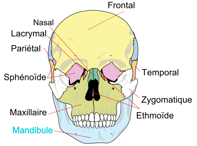 Les os du crâne - Wikimedia Commons