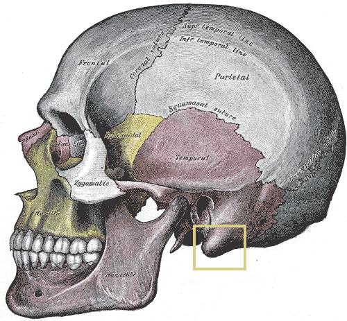 Le processus mastoïde - Wikimedia Commons
