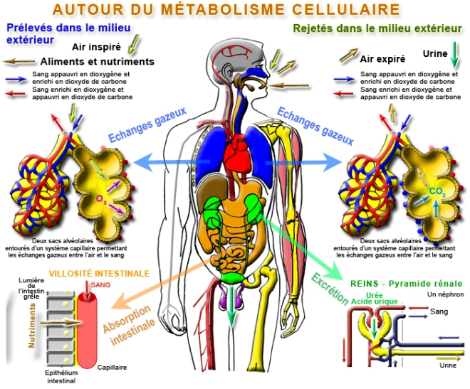 """AUTOUR DU MÉTABOLISME CELLULAIRE - La fonction de nutrition autour du métabolisme cellulaire - """"Comment est produite l'énergie nécessaire au fonctionnement et à la duplication de nos cellules ?"""" - Nutrition - jpb-imagine.com"""