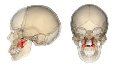 Palatine Bone - How's Heal+h?