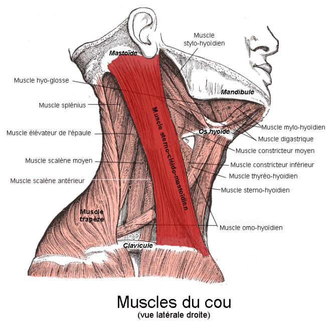 Le muscle sterno-cléido-mastoïdien. Vue latérale - Berichard - Wikimedia Commons