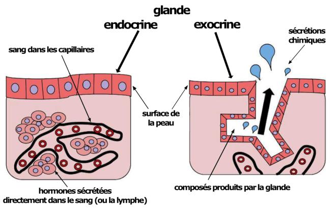 (via Pixelmator) Une glande endocrine comparée à une glande exocrine - Définition de glande - aquaportail