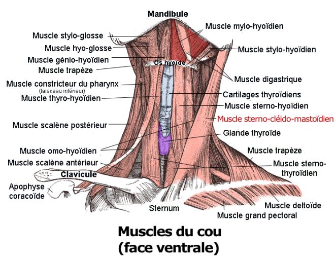 (via Pixelmator) Le muscle sterno-cléido-mastoïdien - Berichard - Wikimedia Commons
