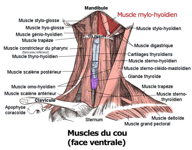 (via Pixelmator) Le muscle mylo-hyoïdien - Berichard - Wikimedia Commons