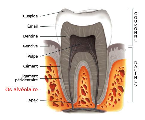 Os alvéolaire - dent.wikibis.com