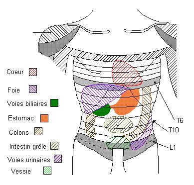 Zones de Head [S.94] - Système nerveux végétatif - anatomie-humaine.com