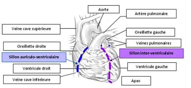 Sillons auriculo-venriculaire et inter-ventriculaire - Bases de la cardiologie - Docteur Elvire MERVOYER - Campus Sémiologie cardiologique - campus.cerimes.fr