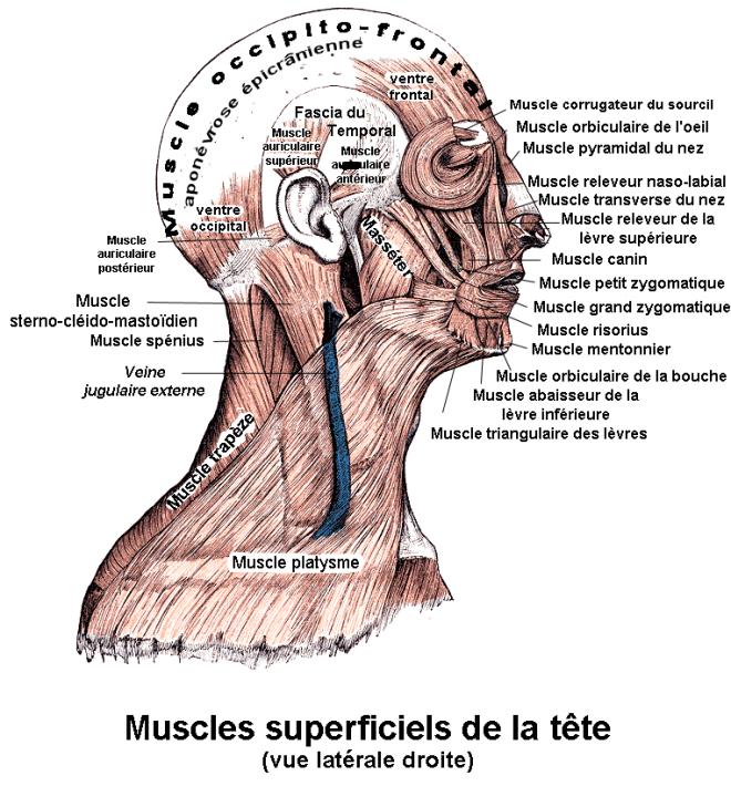 Muscles de la tête. Vue latérale droite. Anatomie humaine - Berichard - Wikimedia Commons