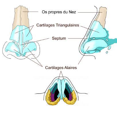Anatomie – Fonctionnement du Nez et des Sinus - CABINET DE CHIRURGIE ORL ET CERVICO-FACIALE