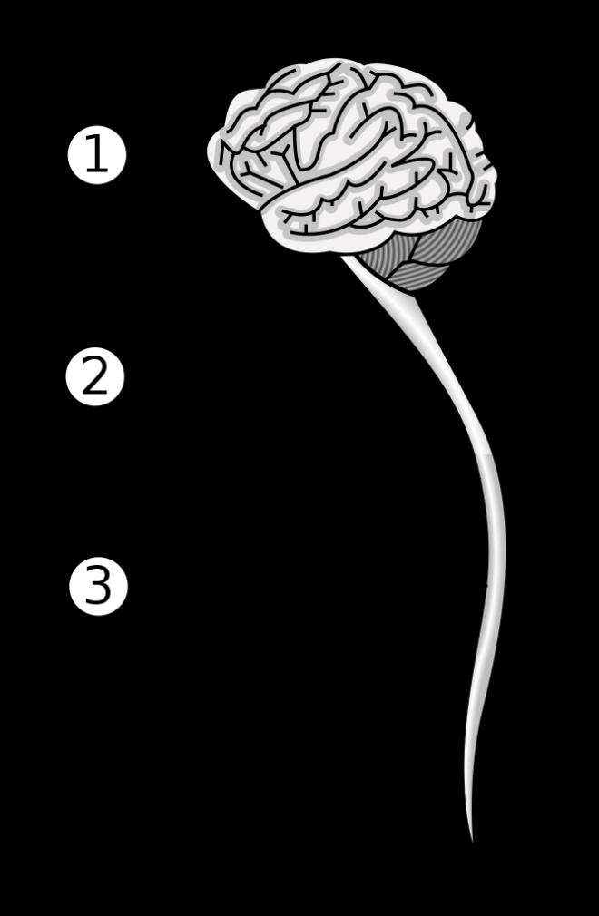 Le système nerveux central Plus de détails Le système nerveux central - Wikimedia Commons